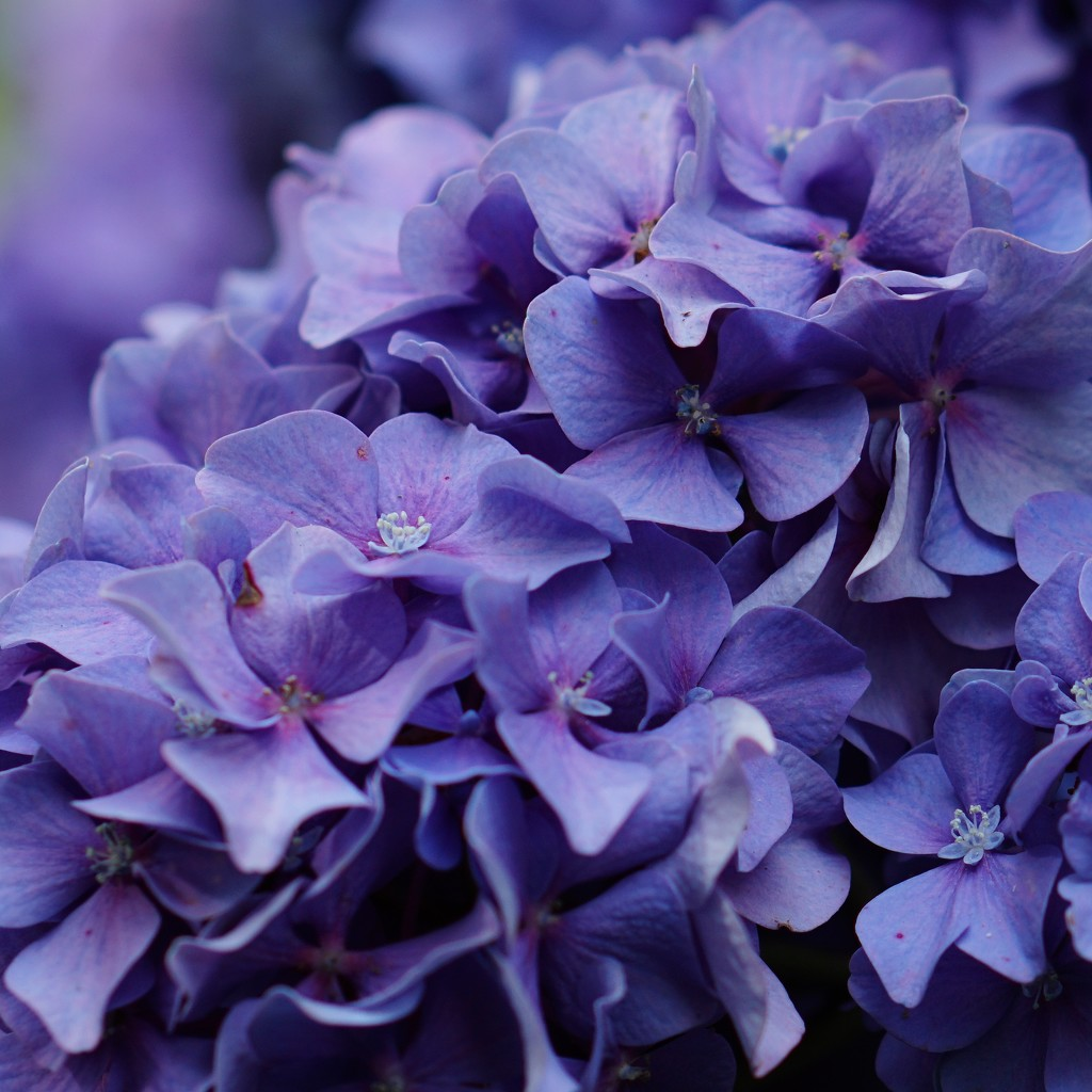 cool blue hydrangea by quietpurplehaze