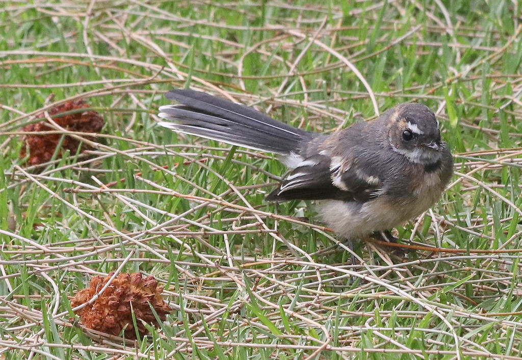 Fantail in the she-oak rubble by gilbertwood