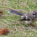 Fantail in the she-oak rubble