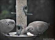 5th Mar 2021 - My regular doves