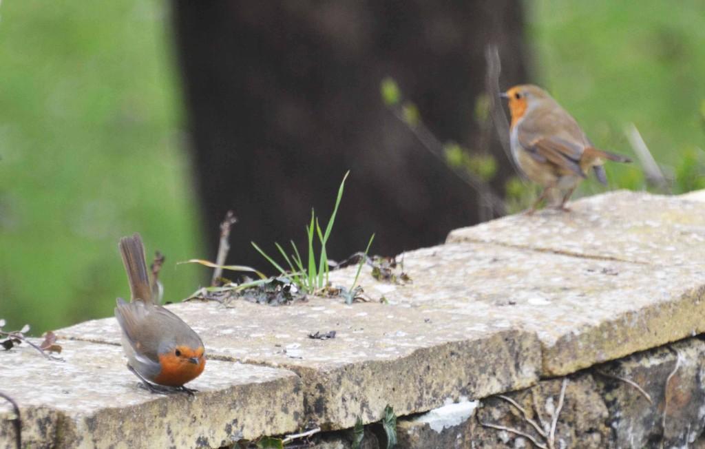 Robins   by arkensiel