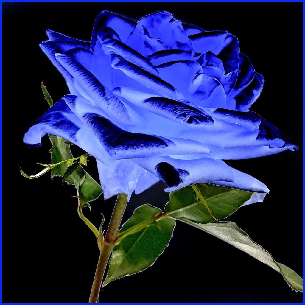 Blue Rose by shutterbug49