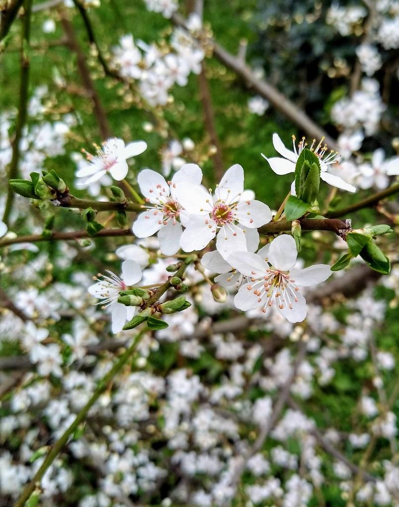 Blossom by boxplayer