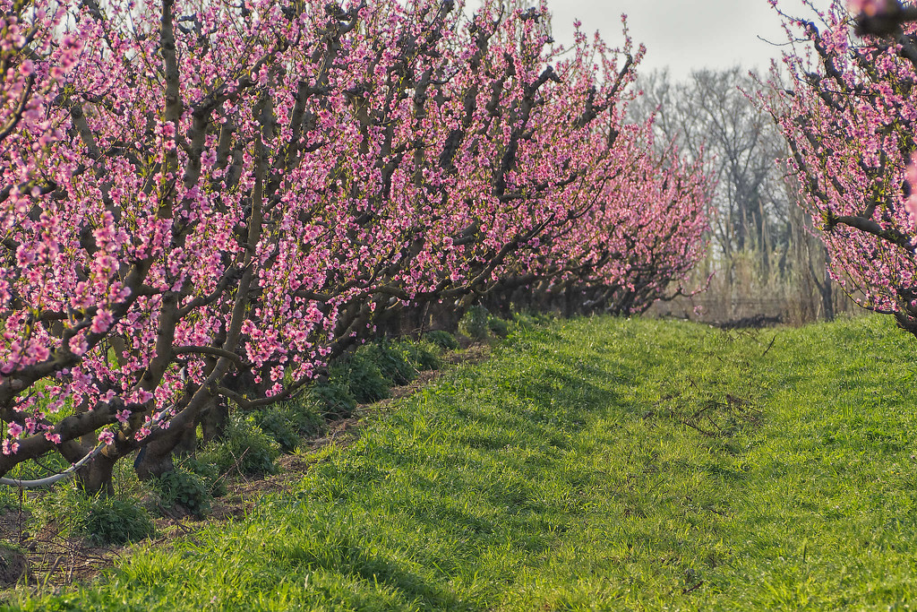 Here there be nectarines ! by laroque