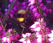 28th Feb 2021 - First Bumblebee...
