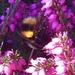 First Bumblebee...