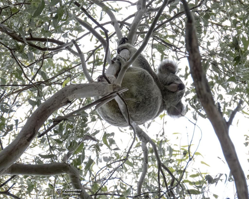the true view of a koala by koalagardens
