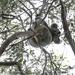 the true view of a koala