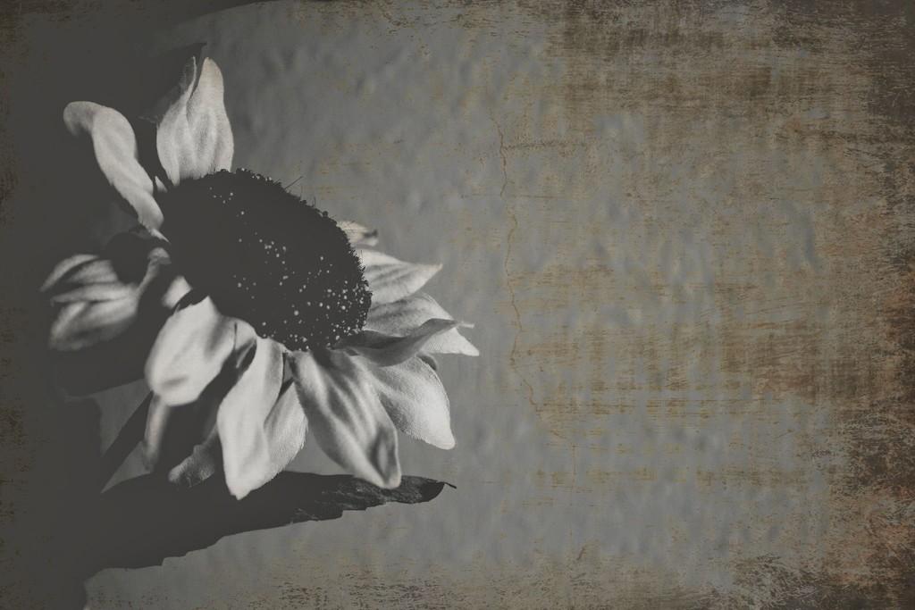 Sunflower by judyc57