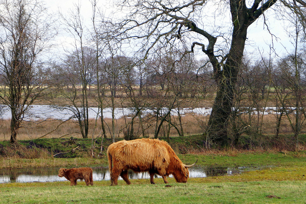 Highland cattle by gijsje