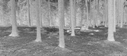 27th Feb 2021 - A Forest in Negative B&W: Green Moss and Straight Spruce Trunks.