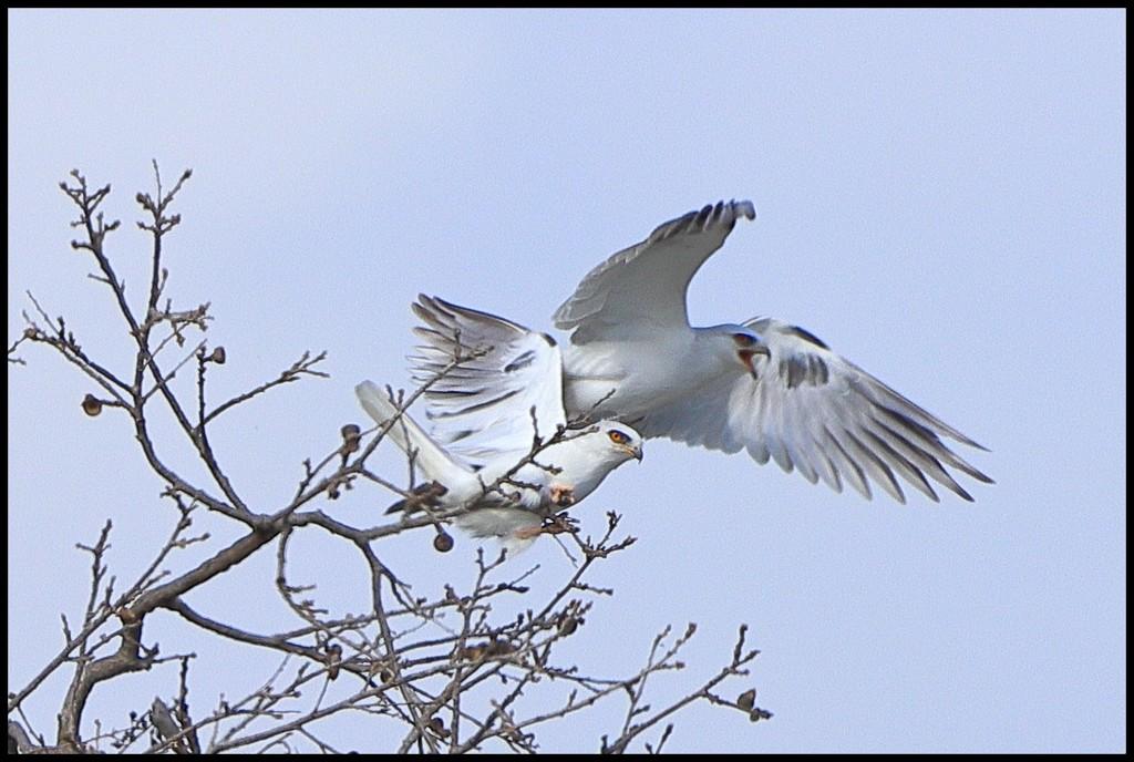 A Pair of flirtatious White-Tailed Kites by markandlinda