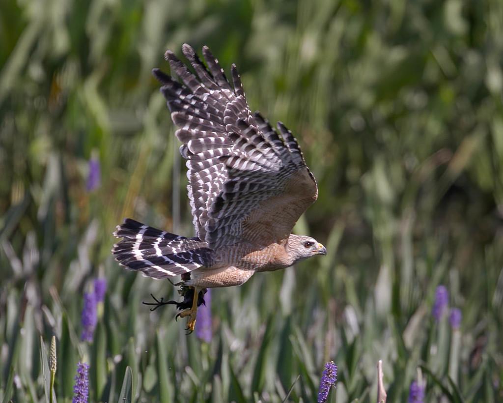 Hawk leaving with prey  by dutchothotmailcom