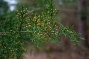 5th Mar 2021 - Cedar tree buds...