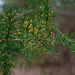 Cedar tree buds...