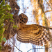 Barred Owl After Something!