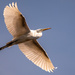 Egret Fly-over! by rickster549