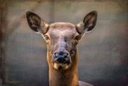 6th Mar 2021 - Wapiti (Elk)