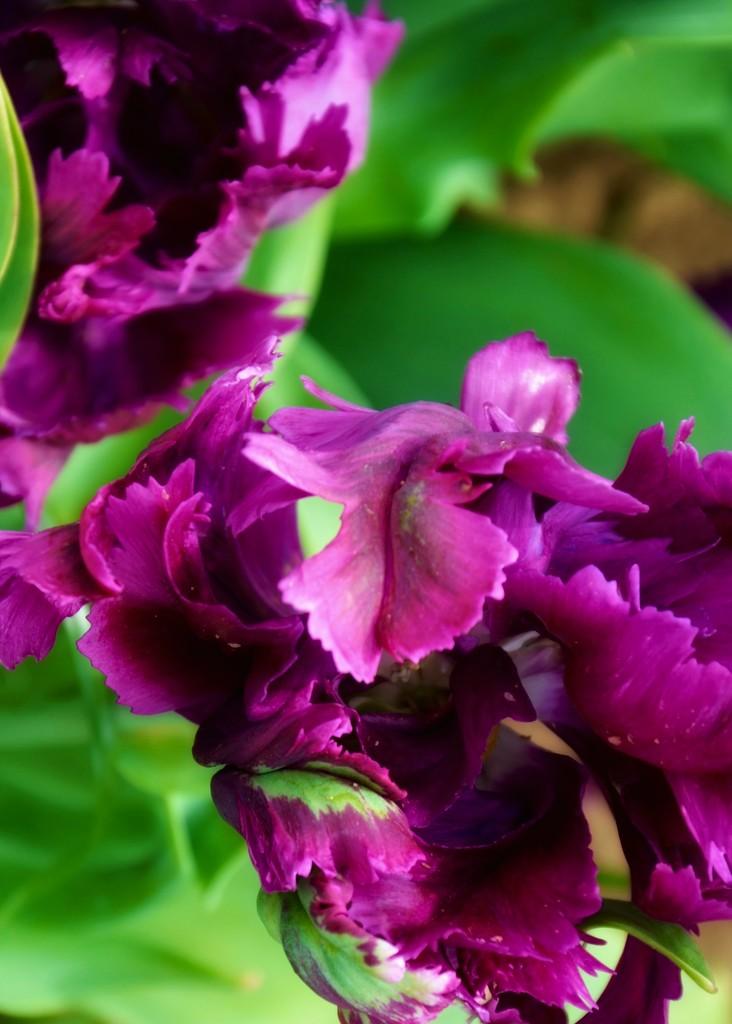 Purple frilly tulips by louannwarren