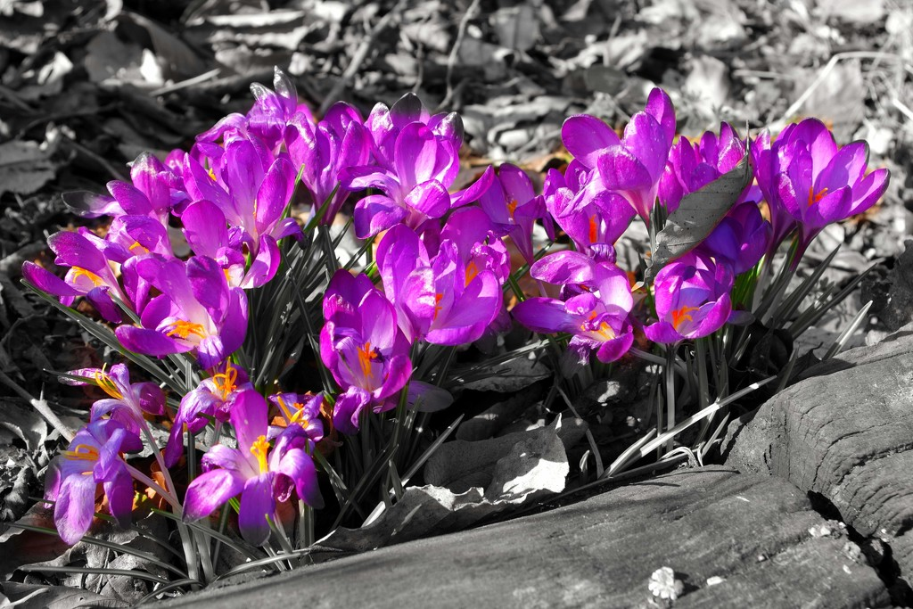 Crocuses by 30pics4jackiesdiamond