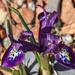 Tiny Iris