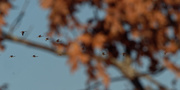 6th Mar 2021 - Canada geese and leaves