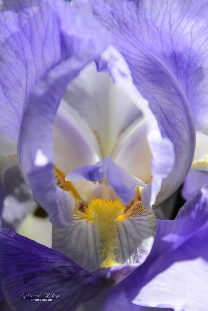Iris - Rainbow Month by yolanda