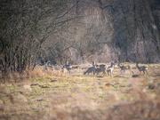6th Mar 2021 - A herd of roe deer