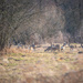 A herd of roe deer