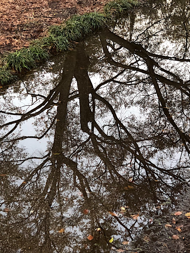 Tree reflection in puddle by congaree