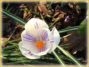 7th Mar 2021 - crocus