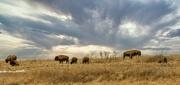 6th Mar 2021 - Where the Buffalo roam