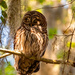 The Barred Owl Before All of the Antics!