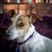 Dahlia, the Amazing Blind, Diabetic Wonder Foster Pet!