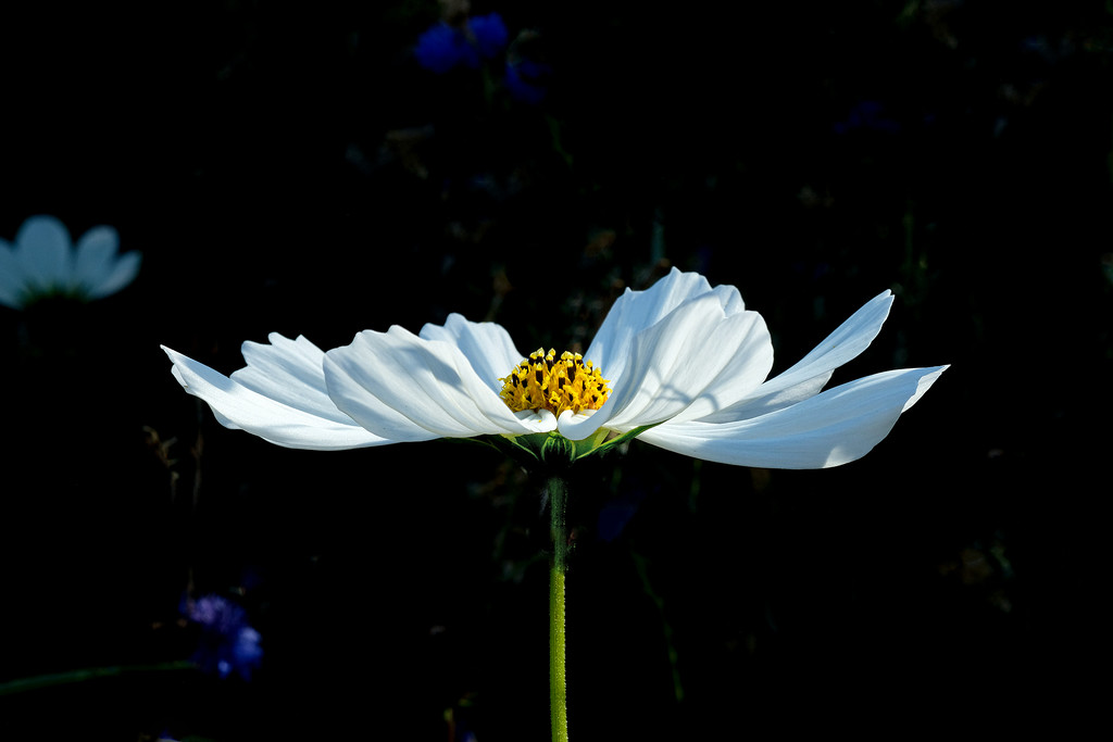 White cosmos by maureenpp