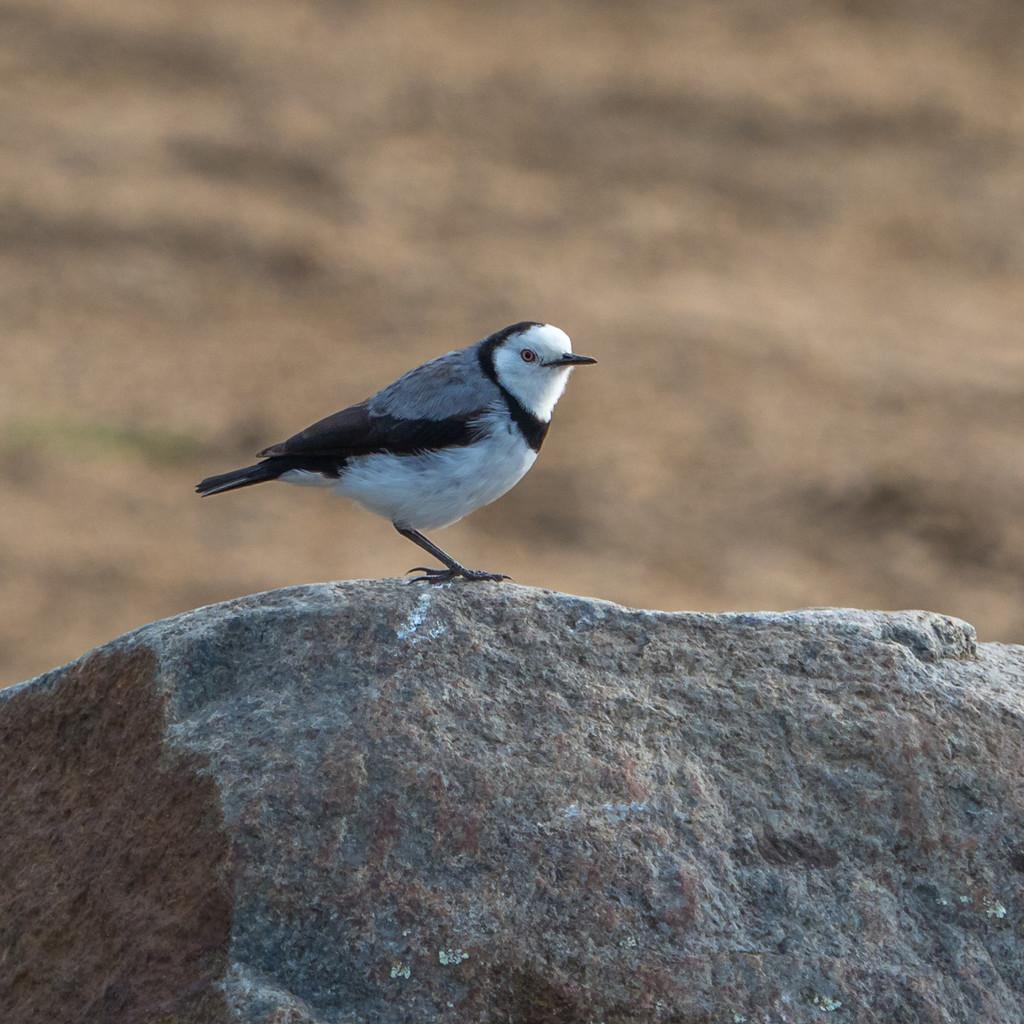 White-headed bird by gosia