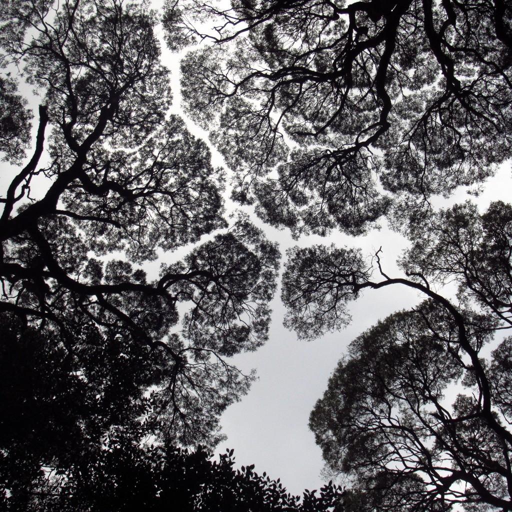 Canopy Shyness... by robz