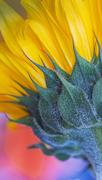 7th Mar 2021 - 0307 Sunflower Macro