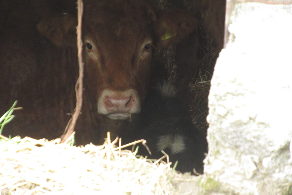 calf in a cattleshed by anniesue