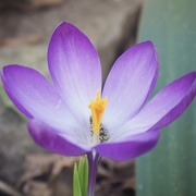 7th Mar 2021 - Purple Crocus