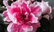 7th Mar 2021 - Pink flower