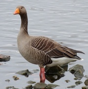 7th Mar 2021 - Graylag Goose