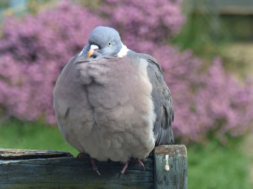Puffed up by jokristina