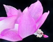 7th Mar 2021 - Pretty in Pink