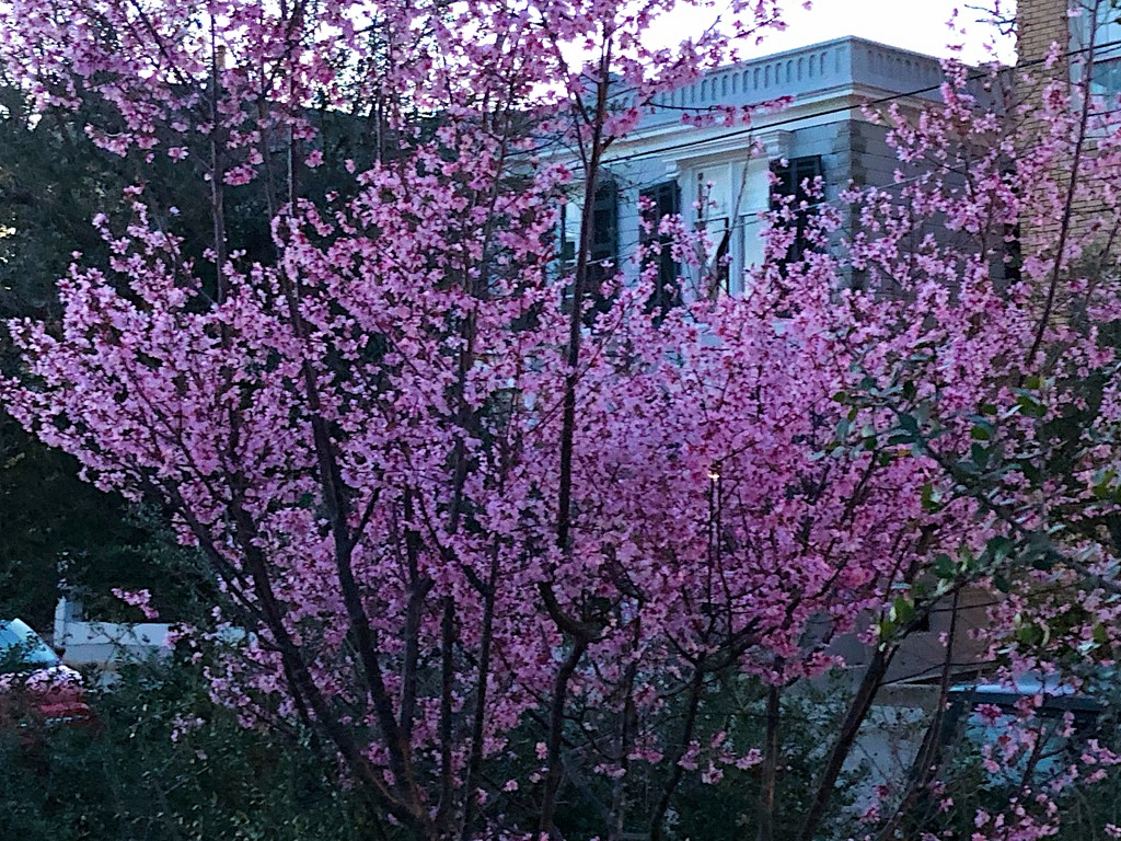 Redbud in bloom by congaree