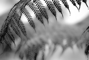 25th Feb 2021 - FoR Fronds
