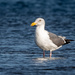 Young Western Gull