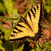 Eastern Tiger Swallowtail Butterfly!