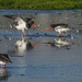 Oystercatcher squabble