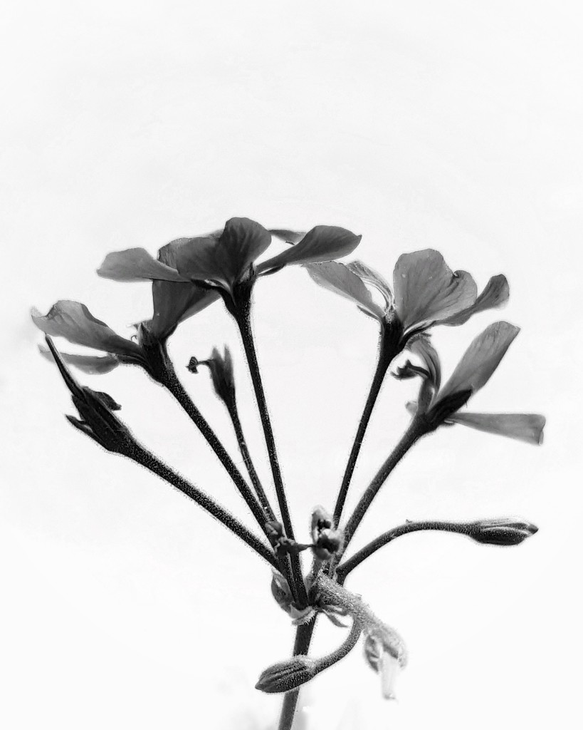 Simple Geranium  by salza
